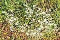 Cerastium arvense in Lozere (3).jpg