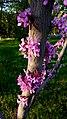 Cercis siliquastrum or Judas tree in Yerevan 01.jpg