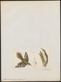 Certhia americana - 1820-1860 - Print - Iconographia Zoologica - Special Collections University of Amsterdam - UBA01 IZ19200359.tif