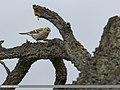 Chaffinch (Fringilla coelebs) (48088874066).jpg