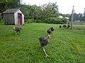 Charging Turkeys (48580821022).jpg