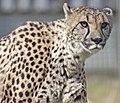 Cheetah 3 (3865824086).jpg