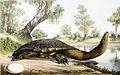 Chelodina longicollis.jpg