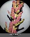 Chenopodium chenopodioides sl16.jpg