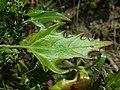 Chenopodium rubrum (s. str.) sl47.jpg