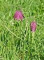 Chequered Fritillaries (Fritillaria meleagris) (16586473774).jpg