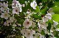 Cherry blossoms - Flickr - odako1 (1).jpg