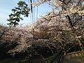 Cherry blossoms and Tsutsuji Valley of Nishi Park 3.JPG