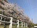 Cherry blossoms in Fukuoka, Fukuoka 20190406.jpg