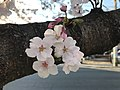 Cherry blossoms near Zasshonokuma Station 20190401-14.jpg