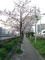 Cherry trees on bank of Mikasagawa River near Hie-Shimbashi Bridge.jpg