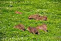 Chester Zoo 2016 028 - Capybara.jpg