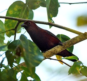 Chestnut-breasted Negrofinch from Canopy Walkway - Kakum NP - Ghana, crop.jpg