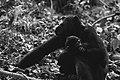Chimpanzee mother and child (Unsplash).jpg