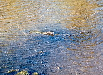 Guadalupe River (California) - Chinook salmon spawning on the Los Gatos Creek tributary of Guadalupe River by California Highway 17 in 1996