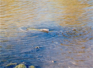Chinook salmon on Los Gatos Creek 1996-11-09.jpg
