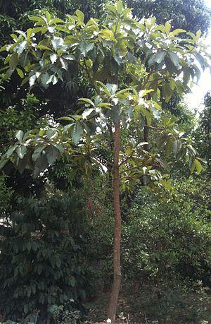 Diploknema butyracea - Chiuri plant