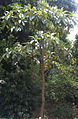 Chiuri Plant.JPG
