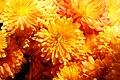 Chrysanthemum Olivia 0zz.jpg