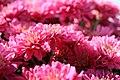 Chrysanthemum Sundoro 0zz.jpg