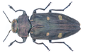 Chrysobothris affinis (Fabricius, 1794).png