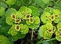 Chrysosplenium alternifolium kz10.jpg