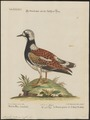 Cinclus interpres - 1700-1880 - Print - Iconographia Zoologica - Special Collections University of Amsterdam - UBA01 IZ17300035.tif