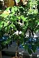 Cinnamomum verum 0zz.jpg