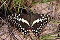 Citrus swallowtail Christmas butterfly (Princeps papilio demodocus) 04.jpg