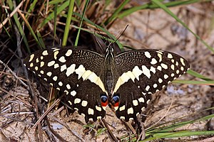 Papilio demodocus - At iSimangaliso Wetland Park, KwaZulu Natal, South Africa