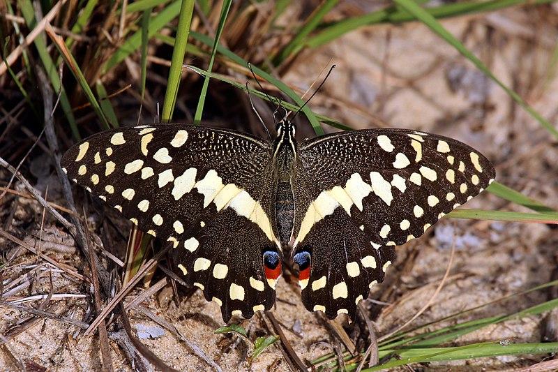 Sưu tập Bộ cánh vẩy 2 - Page 63 800px-Citrus_swallowtail_Christmas_butterfly_%28Princeps_papilio_demodocus%29_04