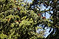 City of London Cemetery and Crematorium ~ cedar branches and cones 01.jpg