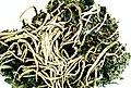 Cladonia decorticata.jpg