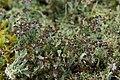 Cladonia sp. (39129162844).jpg