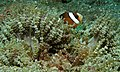 Clark's Anemonefish (Amphiprion clarkii) in Beaded Sea Anemone (Heteractis aurora) (8455438417).jpg