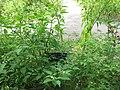 Clarkia amoena - Gardenology.org-IMG 0632 bbg09.jpg