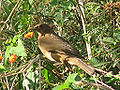 Clay-coloured Thrush.jpg