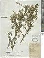 Clinopodium pallidum.jpg