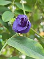 Clitoria ternatea (নীলকন্ঠ) Family- Fabaceae.jpg