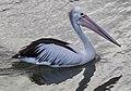 Clontarf Pelican-1 (9212477907).jpg