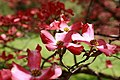Close-pink-dogwood - West Virginia - ForestWander.jpg