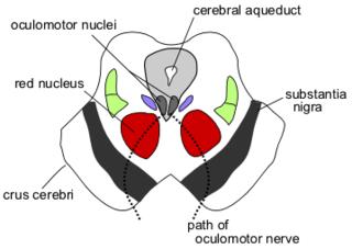 Superior colliculus structure in the mammalian midbrain