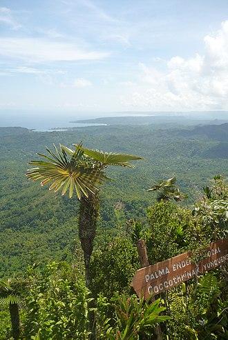 El Yunque (Cuba) - Image: Coccothrinax yunquensis