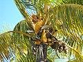 Coconuts (4717481306).jpg