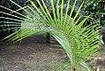 Cocos nucifera 50zz.jpg