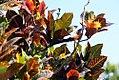 Codiaeum variegatum Stewartii 1zz.jpg