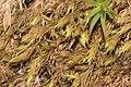 Codriophorus fascicularis (a, 141237-472401) 4524.JPG