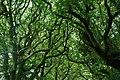 Coed Y Lôn Goed - Lôn Goed's trees - geograph.org.uk - 519128.jpg