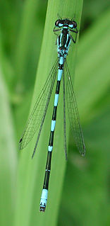 <i>Coenagrion</i> genus of insects