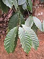 Coffea canephora - Coffee robusta leaves at Wayanad.jpg
